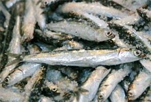 Salazón casera de anchoas